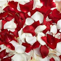 Petals of red and white roses