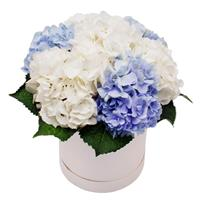 A box of white and blue hydrangeas