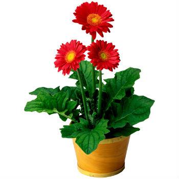 Купить цветы в горшке в харькове доставка цветов по минску недорого