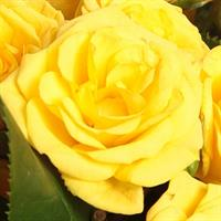 101 yellow roses