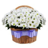 Basket with chamomile chrysanthemum